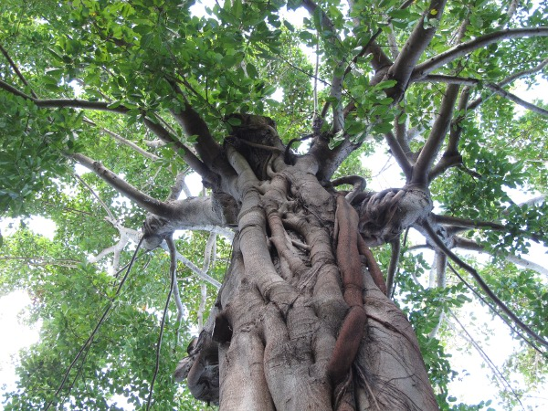 White Fig tree near the Hall of Giants. Amazing!