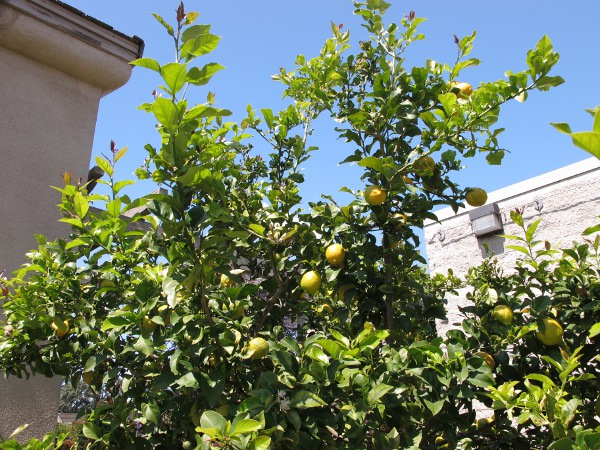 Lemon tree in the Botanical Center courtyard.