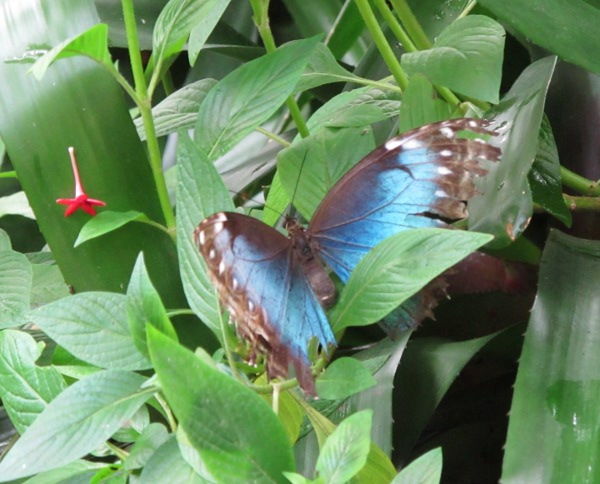 Blue-winged butterfly.