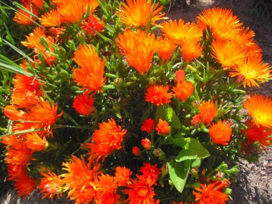 Ice plant, on Santa Catalina Island.