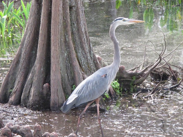 Great blue heron by the pond at Martin Luther King Jr. Park, or Castle Park.