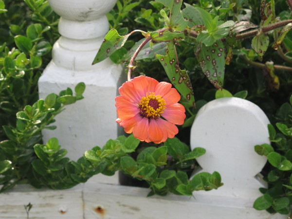 Flower growing over the cottage fence in the children's garden.