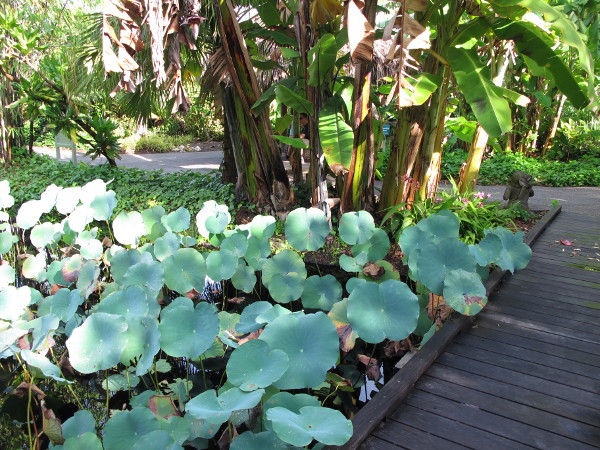 Lotus pool and banana trees.