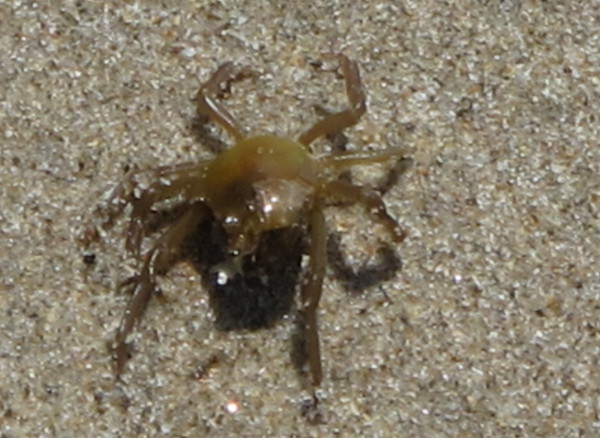Crab near the shore.