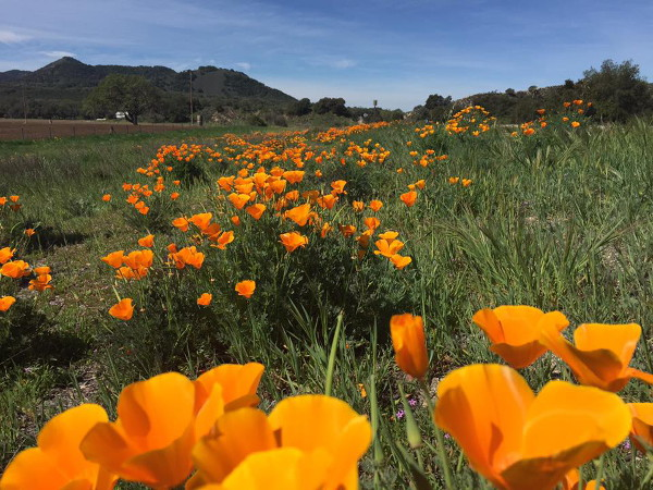 California poppies along the side of Highway 154 in March.