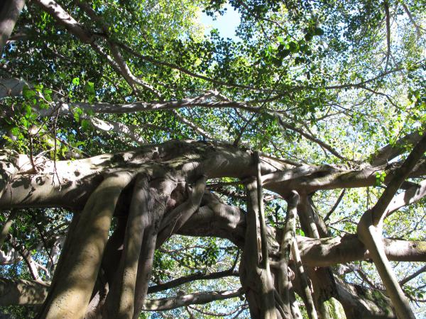 The amazing branches of the banyan tree.