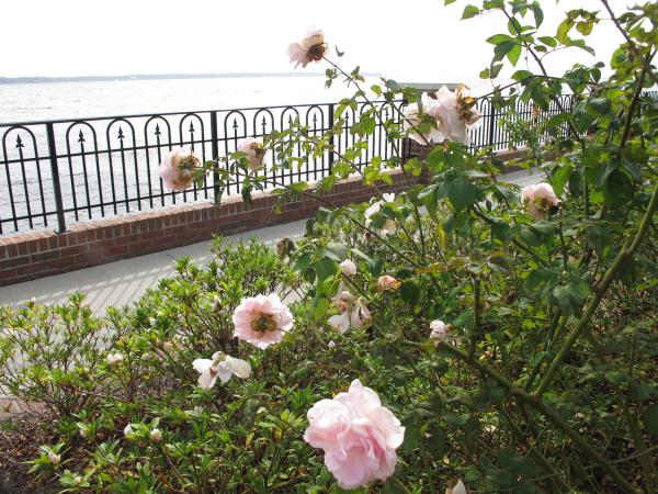 Roses by the water.