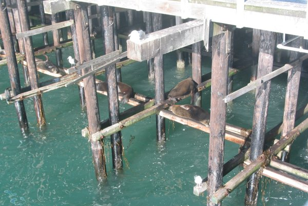 Sea lions sunbaking beneath Santa Cruz pier.