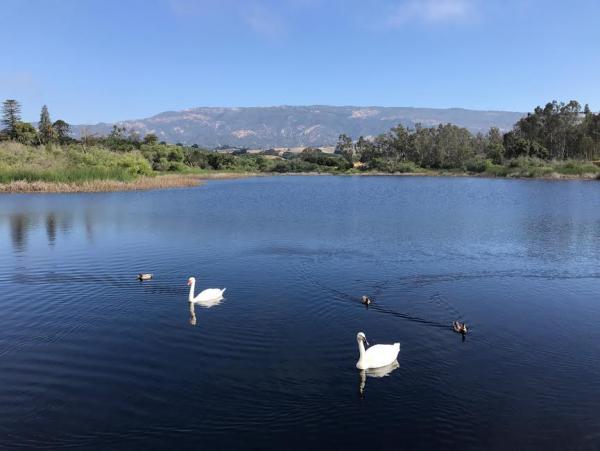 Swans in the lake!