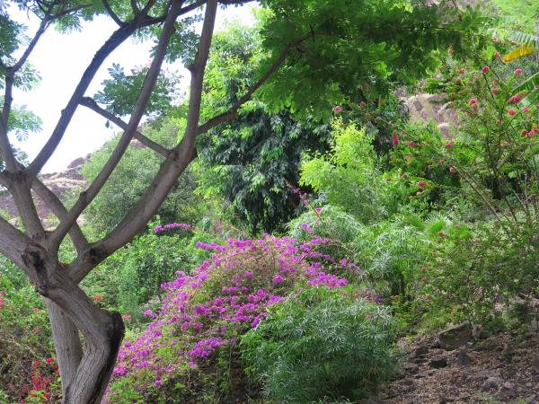 Purple bougainvillea on the hillside.