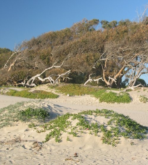 Dunes and beach trees.