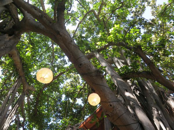 Lanterns in the banyan tree at the International Marketplace.