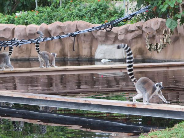 Lemurs have such gorgeous tails.