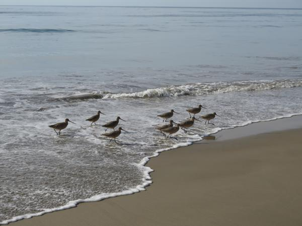 Cute birds running from a wave.