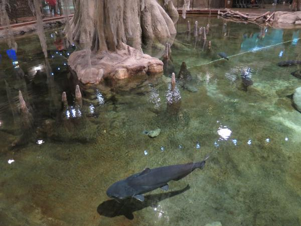 Shark swimming in a cypress lagoon.