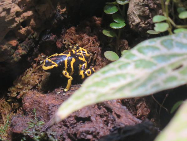 Yellow-banded Poison Dart Frog.
