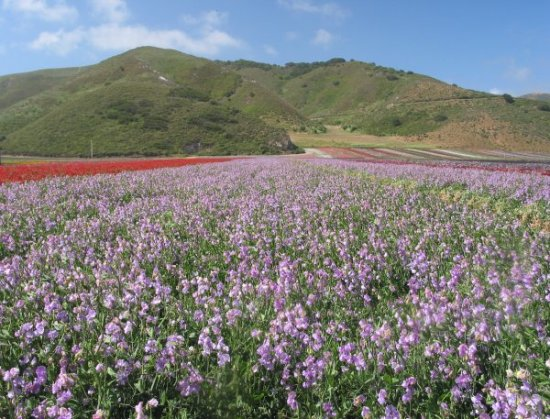 Lompoc Flowers, Town, and Beach, Santa Barbara California
