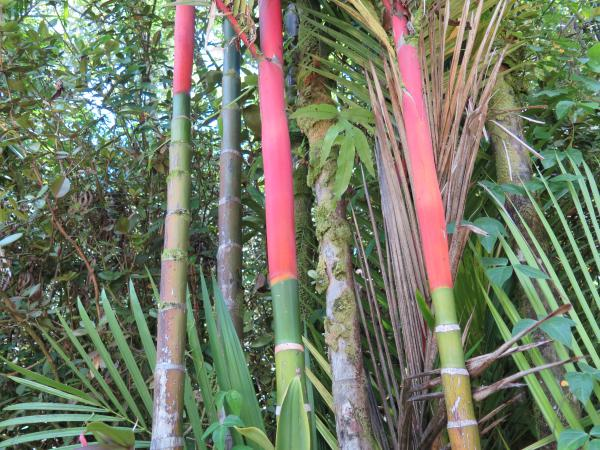 Red palm trunks! I've never seen this before!