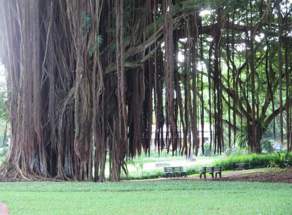 Banyan tree in Lilioukalani Gardens, across the street from Hilo Bay Cafe.
