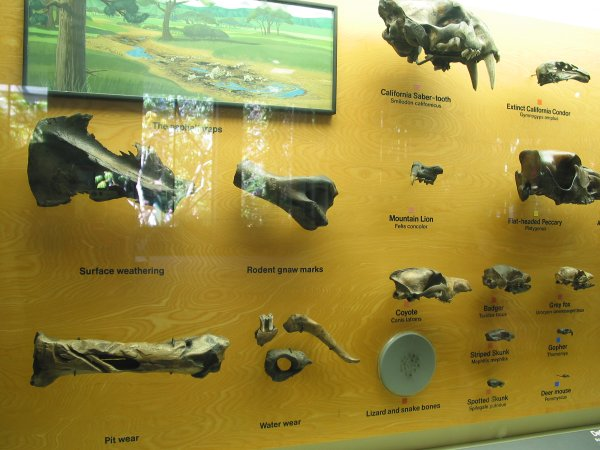 Various finds: coyote skull, badger skull, saber-tooth skull, skunk skull, condor skull etc