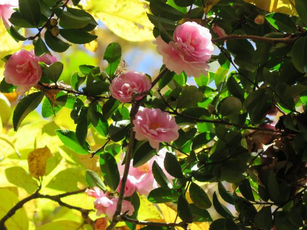 Camelias and autumn leaves.