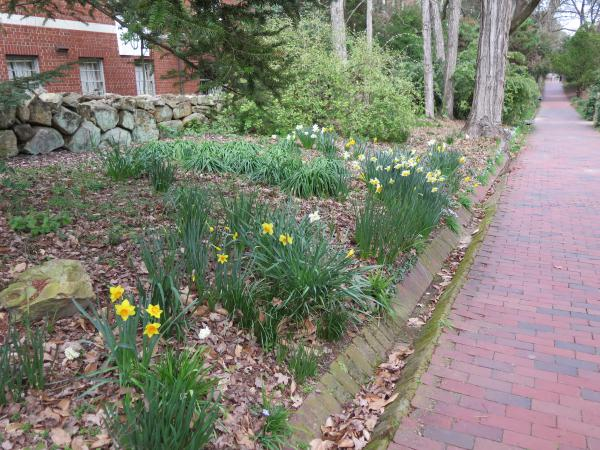 Daffodils along the path, on the north end of Coker Arboretum.
