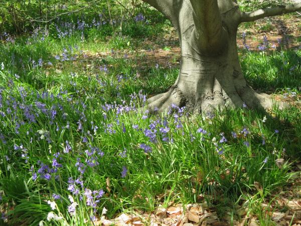Bluebells around a tree, in early April.