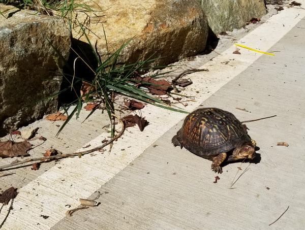 Tortoise on the Tanyard Branch Trail, which connects Bolin Creek Trail with downtown Chapel Hill.
