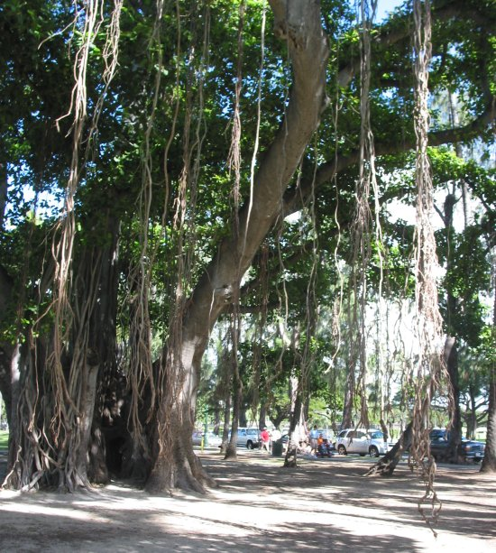 The Banyan tree by Hau Tree Beach.