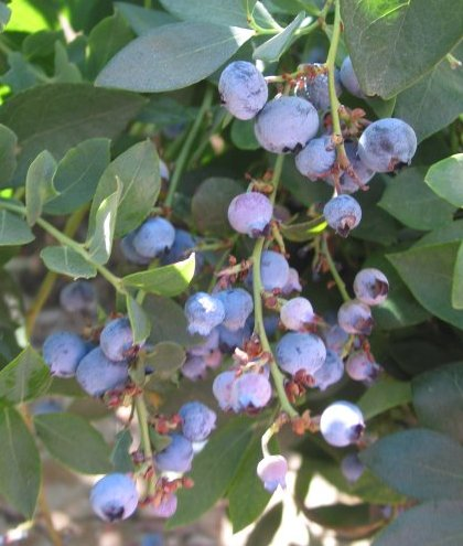 Blueberry Farm, Buellton, Santa Barbara California