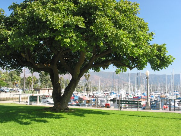 Lovely golden-barked Coral tree at the harbor.