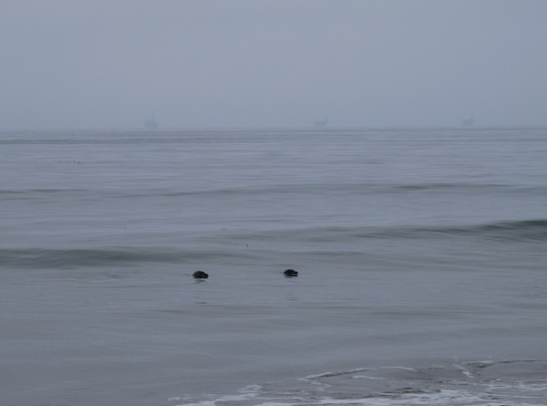 Two seals bobbing around in the water at Carpinteria State Beach.