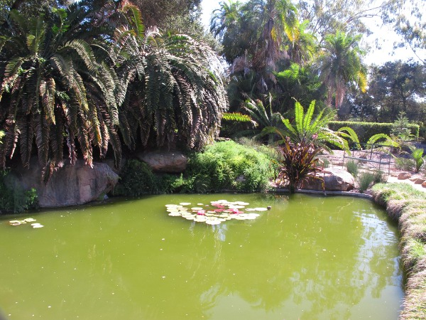 Pond with koi and water lilies by the rare cycads.