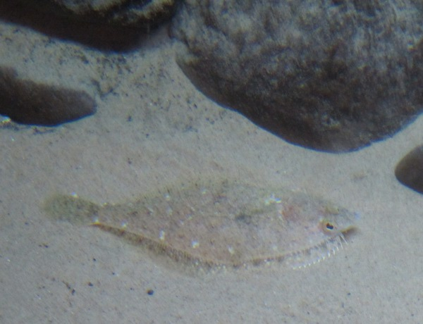 Funny flat fish that camouflages himself by the sand, at the Central Coast Aquarium.
