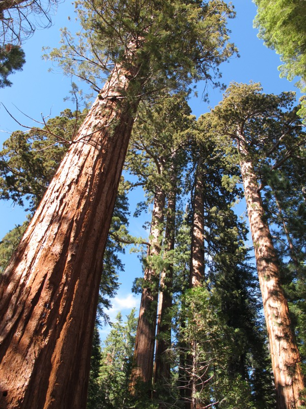 Giant Sequoias reach up to the sky.