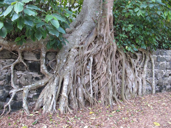 Amazing tree roots on the wall at Barrow Pl.