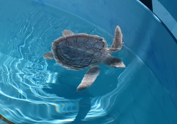 A juvenile Hemp's Ridley turtle, one of the rarest turtles.