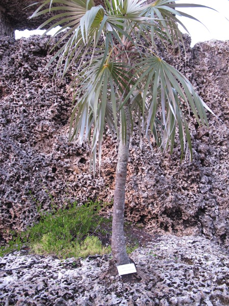Little palm tree growing in the coral rock.