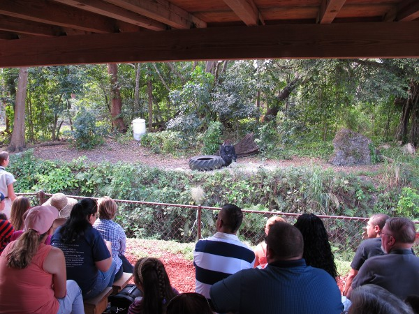 Visitors watching the gorilla show.