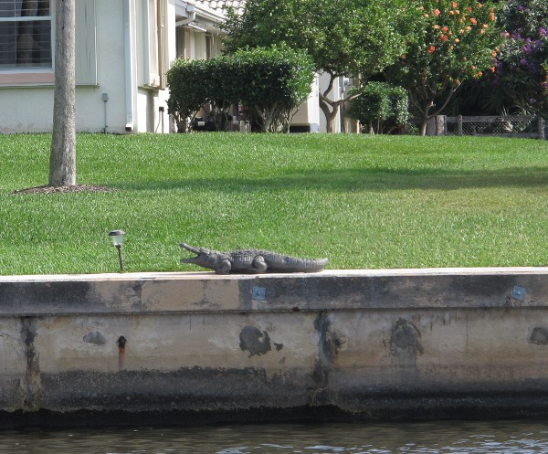 A waterfront house has a fake alligator in their yard!